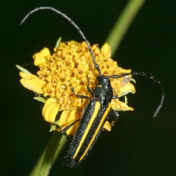 Lophalia cyanicollis