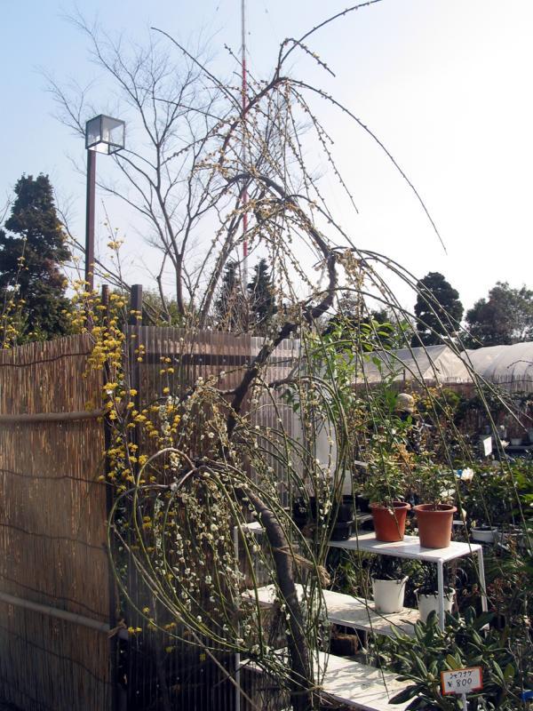 Wisteria in someones garden in Sendai