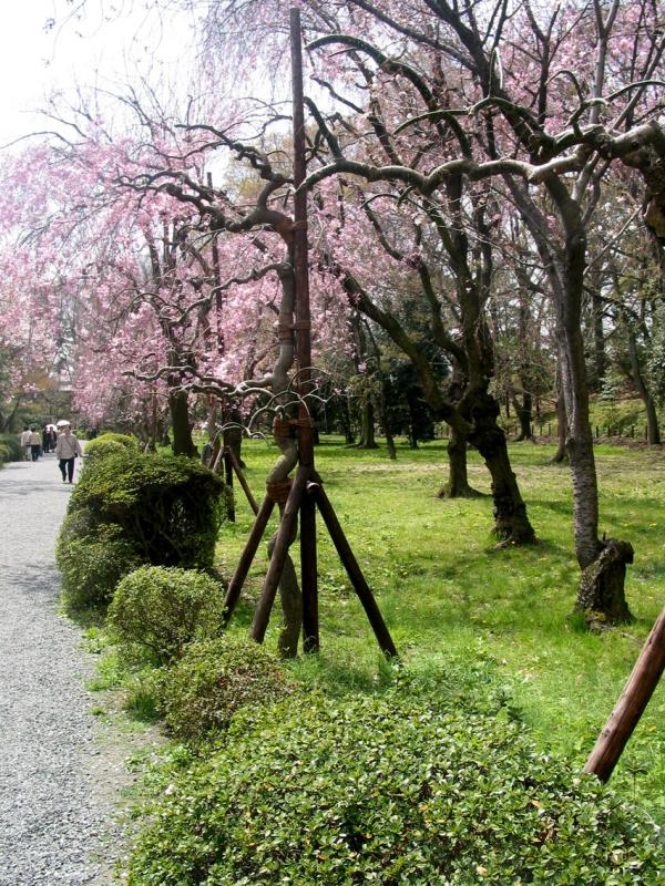 Heijan gardens in Kyoto use crutches to help the cherry  trees