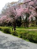 Cherry Trees Heian Jingu Garden