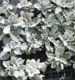 Artemisia at a Sendai market