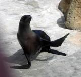 Young female sea lion showing off