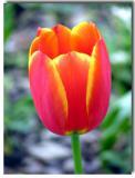 Eraly Tulip