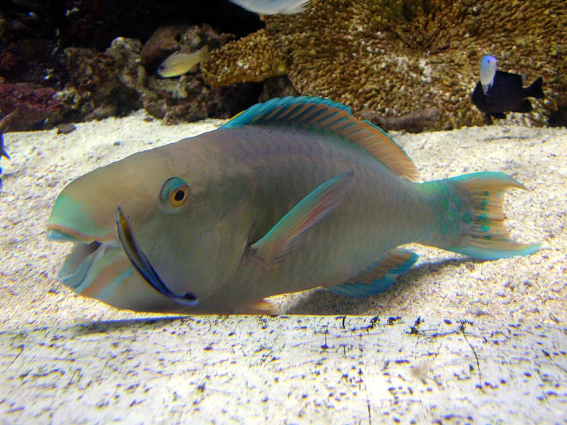 Parrot fish w/ cleaner wrasse