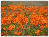 Thick with Poppies