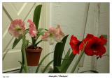 Another good show by the  Amaryllis this year