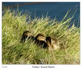 Napping Ducklings in the grass