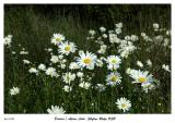 Daisies of Skyline Ridge OSP