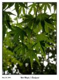 It rained this morning. Wet Maple Leaves
