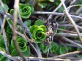 sedum in spring