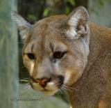 Cougars and other animals at the Squam Lake Naturural Science Center