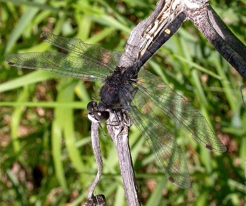 Dot-tailed Whiteface -- male