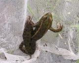 young Leopard frog from Section 3