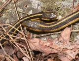 Thamnophis sirtalis sirtalis ---  a rendezvous