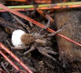 Northern Wolf Spider - female with egg sac - 2