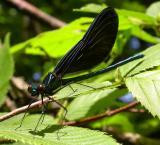 Ebony Jewelwing damselfly-- male