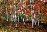 Birches at Lebanon
