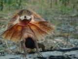 Aussie Lizards