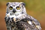 Img_7213 Great Horned Owl.jpg