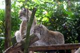 Lynx lynxNorthern lynx Siberische Lynx