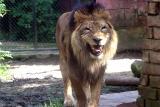 Panthera leo LionLeeuw