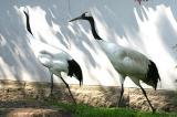 Grus japonensis Red-crowned crane Japanse kraanvogel
