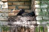 Geronticus eremita Waldrapp / Hermit Ibis