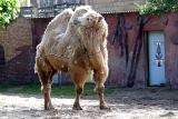 Camelus BactrianusCamel Kameel