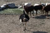 Ostrich and Ankole cattle Struisvogel en Watusi runderen