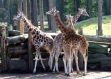 Giraffa camelopardalis  Giraffe