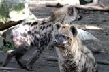 Crocuta crocutaSpotted HyenaGevlekte Hyena