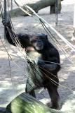 Pan Troglodytes Chimpanzee Chimpansee