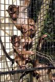 Macaca nemestrinaPig-tailed MacaqueLaponderaap