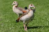 Alopochen aegyptiacus Egyptian Goose Nijlgans
