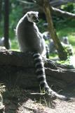 Lemur katta Ring Tailed Lemur Ringstaart Maki