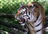 Panthera Tigris AltaicaSiberian TigerSiberische Tijger