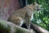 Panthera pardus saxicolor Persian Leopard Perzische panter