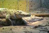 Crocodylus niloticus Nile Crocodile Nijlkrokodil