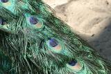 Pavo Cristatus Indian peafowl Blauwe pauw