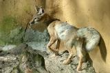Vulpes corsacCorsac Fox Steppevos