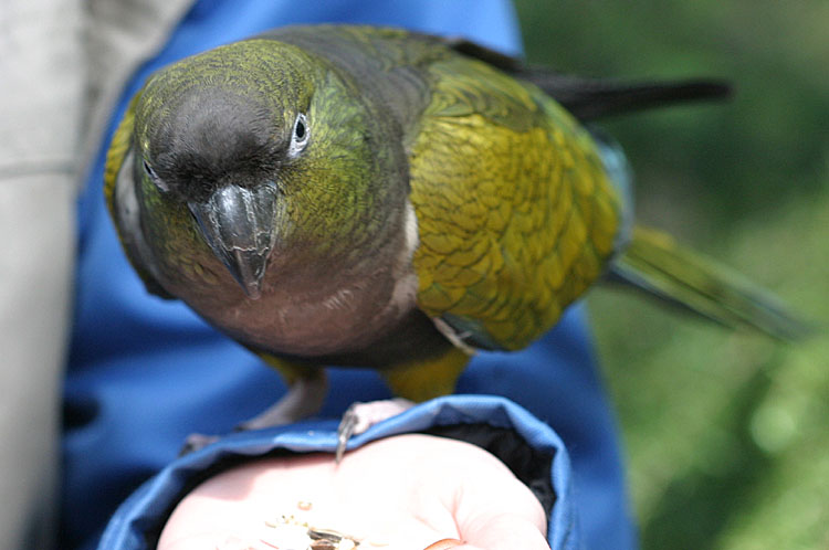 Cyanoliseus patagonus<br>Burrowing Parakeet<br>Patagonische rotsparkiet