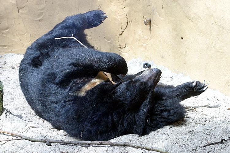 Ursus thibetanus<br>Asiatic black bear<br>Kraagbeer