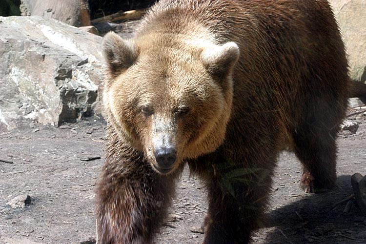 Ursus Arctos<br>Grizzly/Brown Bear<br>Bruine Beer<br>Ursus Arctos
