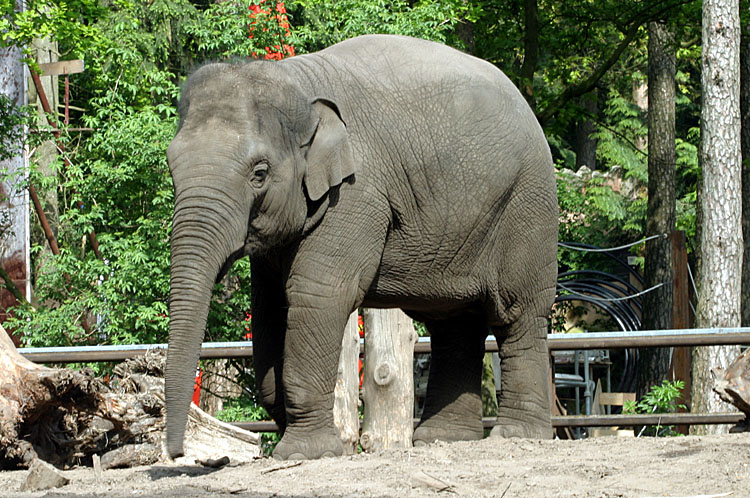Elephas Maximus<br>Asiatic elephant<br>Aziatische olifant