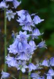 Bluebells hyacinthoides