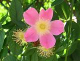 Pink Vine Rose