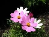 Asters Miscellaneous