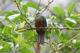Golden-headed Quetzal, female