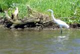DSC01413 - Another bird along the canal (Egret?)