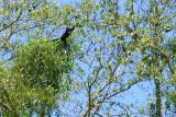 DSC01419 - Monkey in the trees